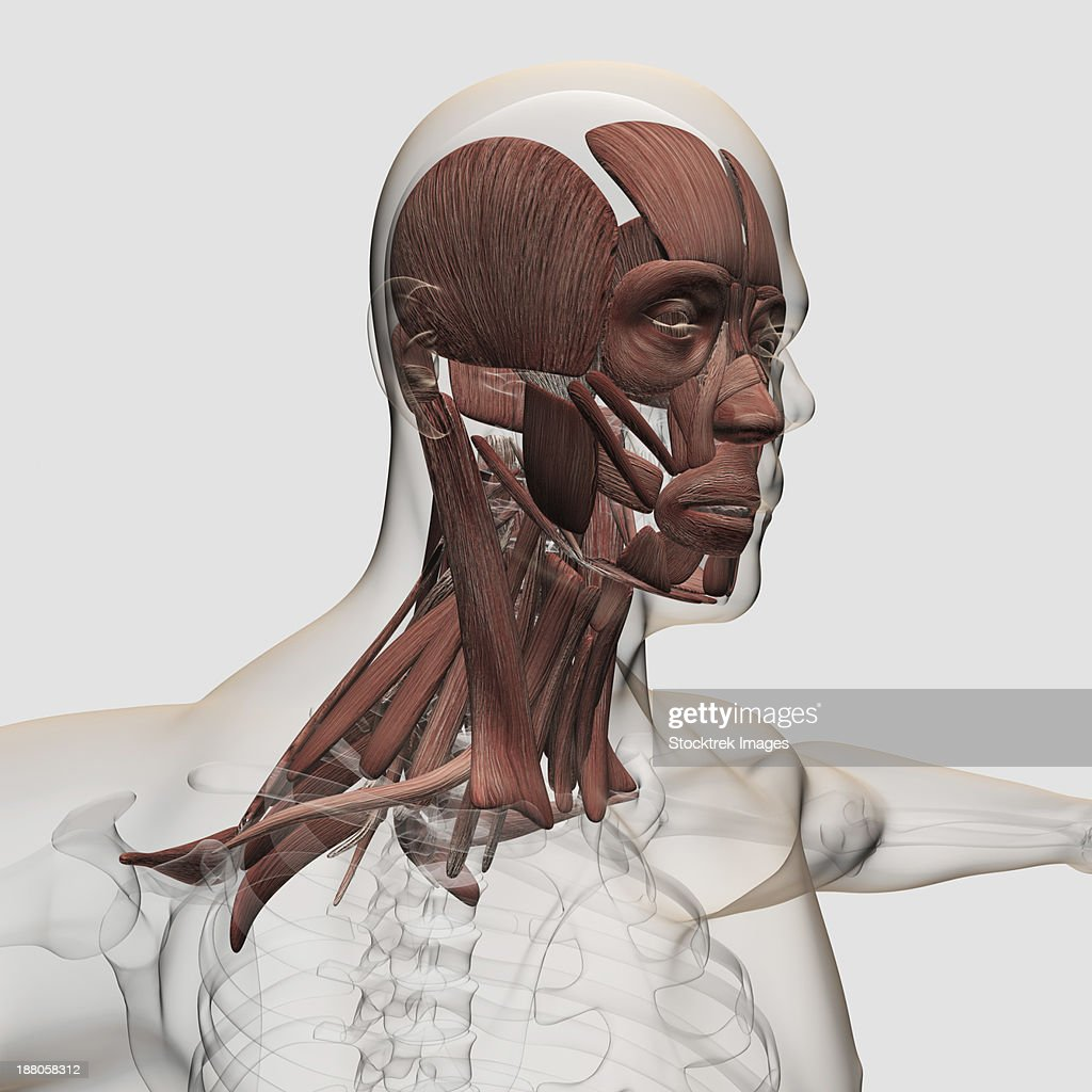 Anatomy Of Male Facial And Neck Muscles Front View Stock