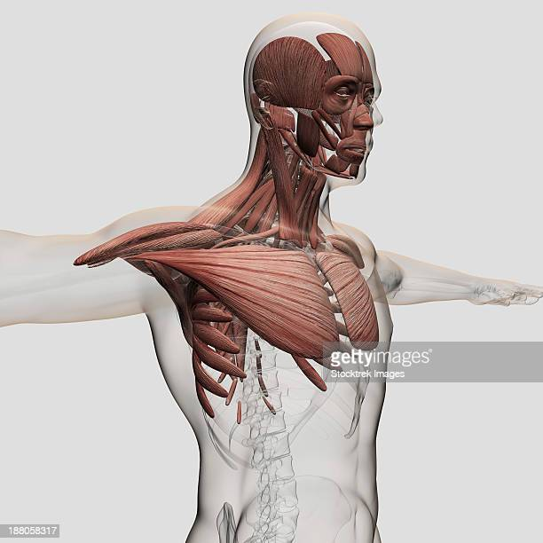 anatomy of male muscles in upper body, anterior view. - chest torso stock illustrations, clip art, cartoons, & icons