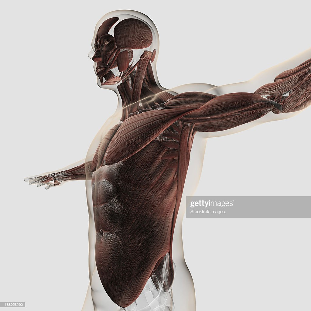 Anatomy Of Male Muscles In Upper Body Side View Stock Illustration