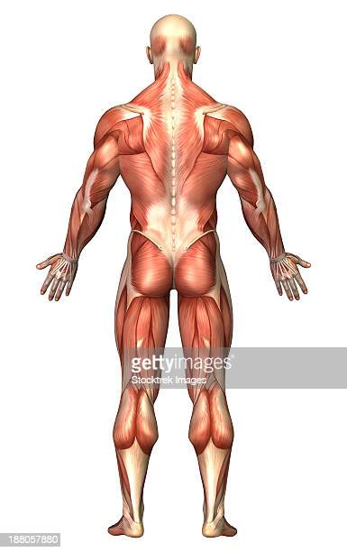 anatomy of male muscular system, back view. - forearm stock illustrations, clip art, cartoons, & icons