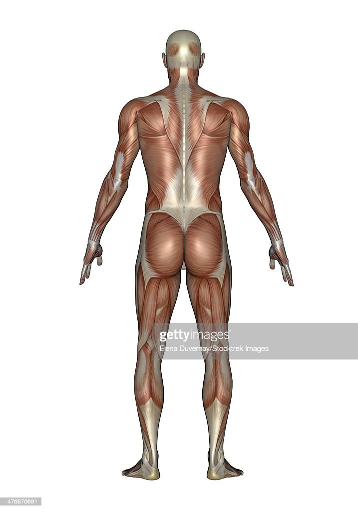 Anatomy Of Male Muscular System Back View Stock Illustration Getty