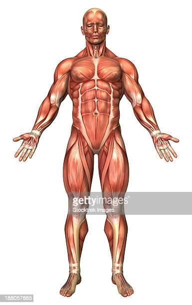 anatomy of male muscular system, front view. - forearm stock illustrations, clip art, cartoons, & icons