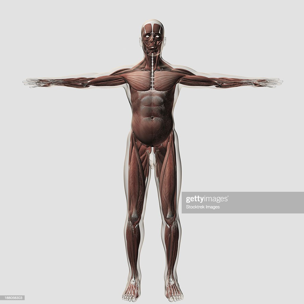 Anatomy Of Male Muscular System Front View Stock Illustration ...