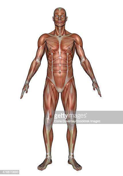 anatomy of male muscular system, front view. - abdominal muscle stock illustrations, clip art, cartoons, & icons