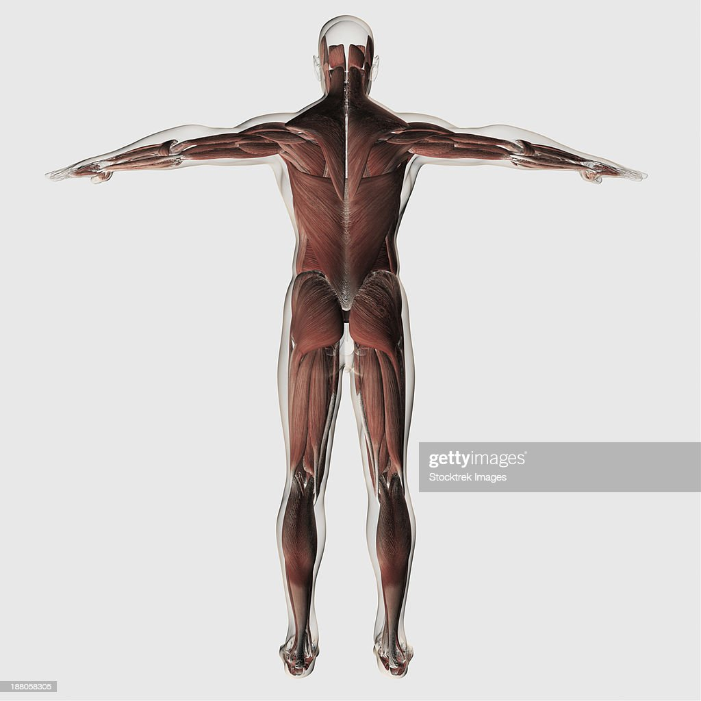 Anatomy Of Male Muscular System Posterior View Stock Illustration