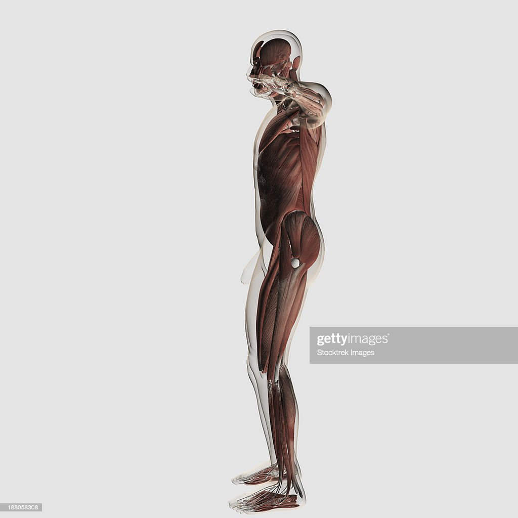 Anatomy Of Male Muscular System Side View Stock Illustration Getty