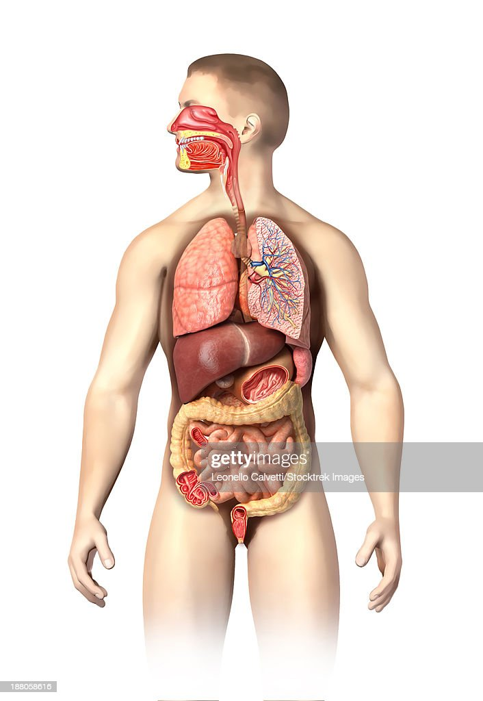 Anatomy Of Male Respiratory And Digestive Systems Cutaway View Stock