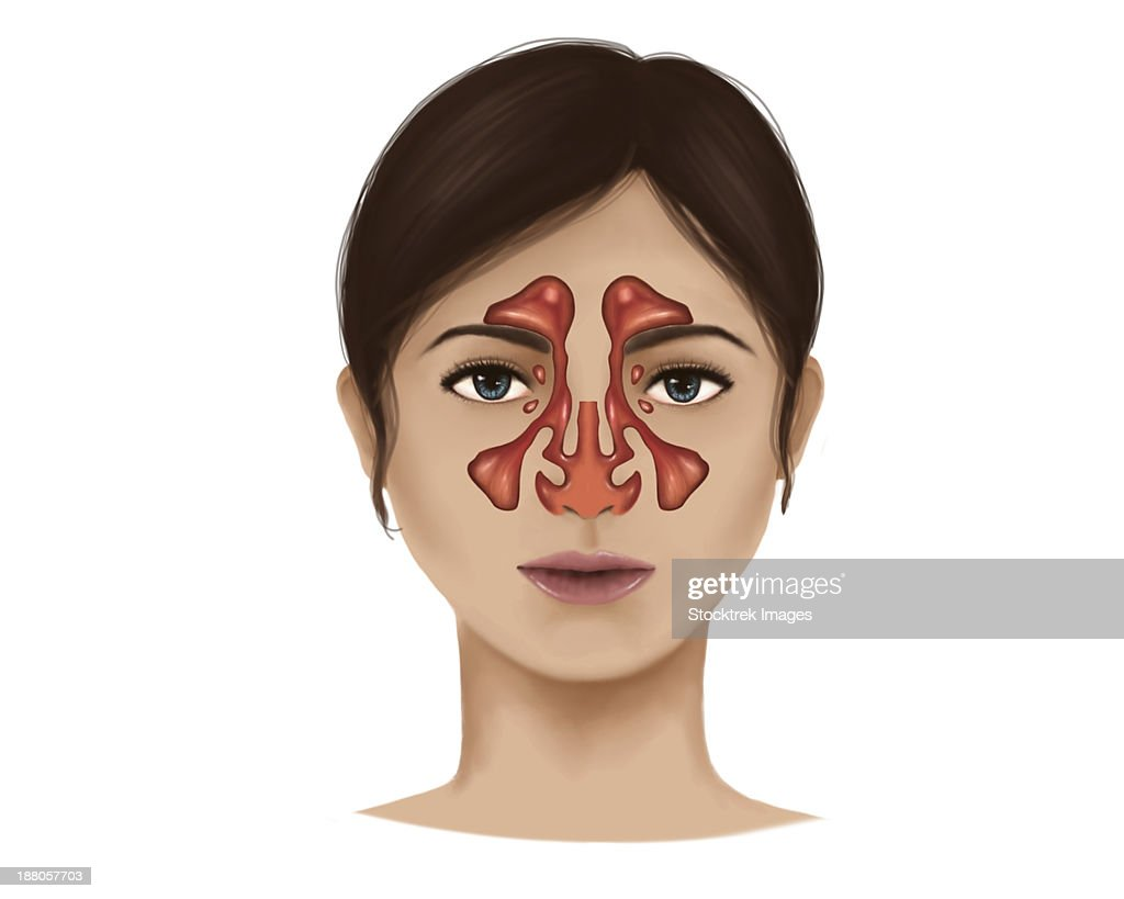 Anatomy Of Nasal Sinuses Stock Illustration | Getty Images