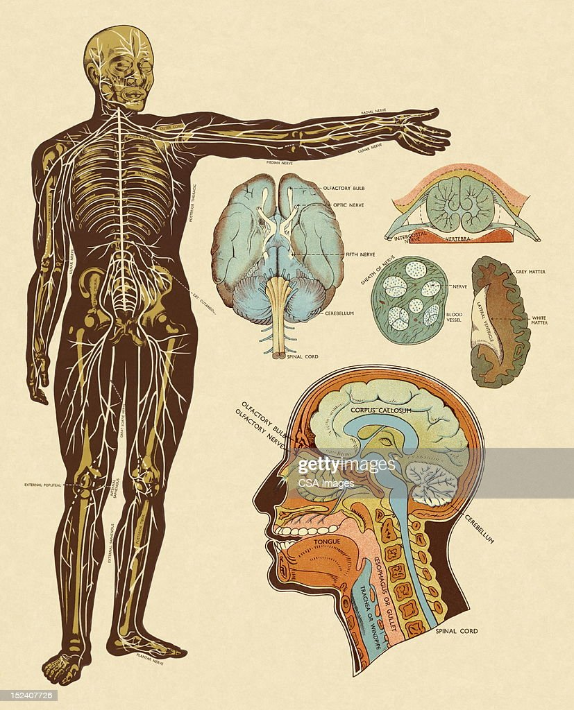 Anatomy Of Nerves Of Body And Head Stock Illustration Getty Images