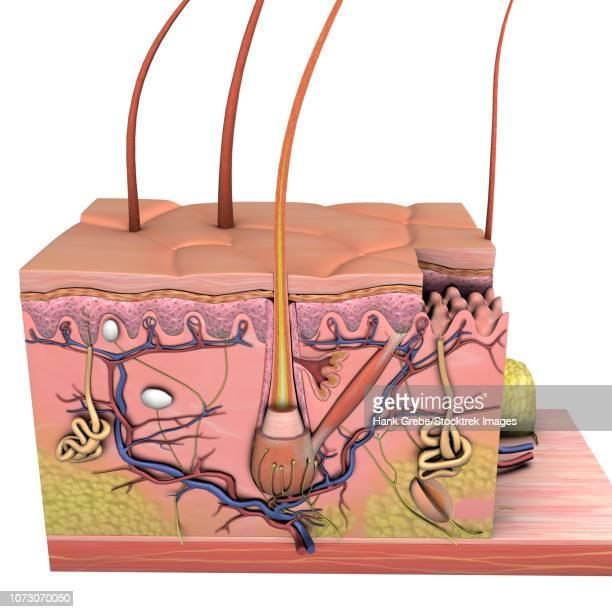anatomy of skin, cross section on white background. - stratum corneum stock illustrations