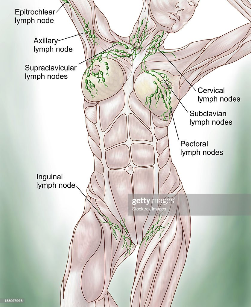 Anatomy Of Superficial Lymphatics Stock Illustration Getty Images