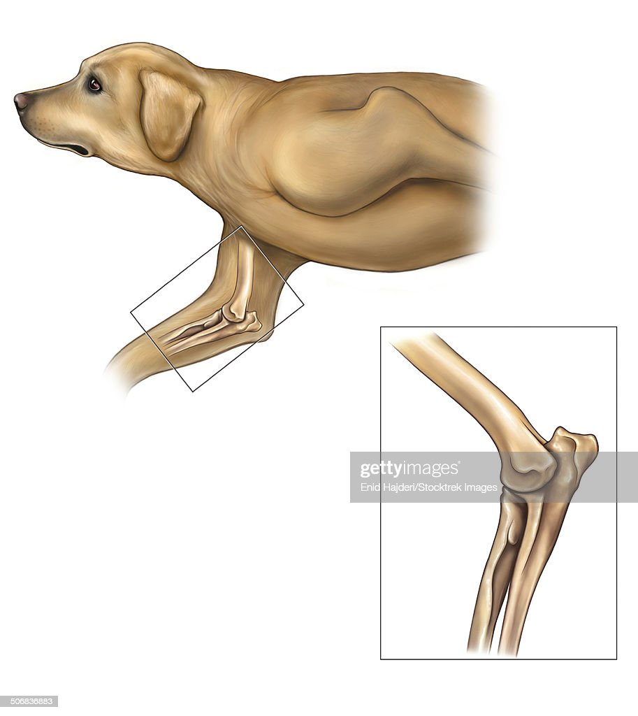 Anatomy Of The Dog Elbow With Lateral Zoom Stock Illustration ...