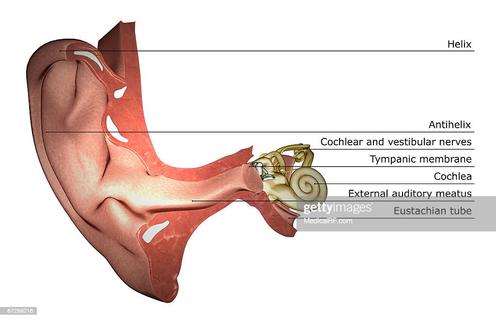 Anatomy Of The Ear Stock Illustration | Getty Images