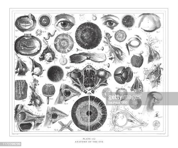 anatomy of the eye engraving antique illustration, published 1851 - human body part stock illustrations