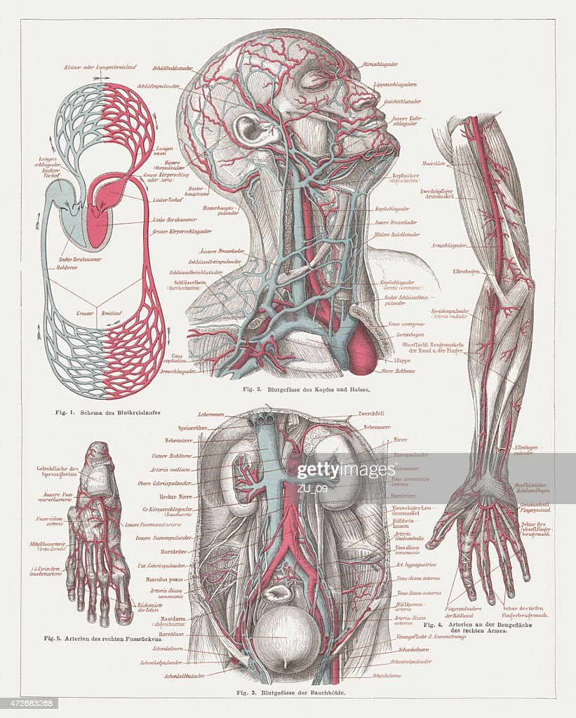 Anatomy Of The Human Bloodstream Lithograph Published In 1874 Stock ...