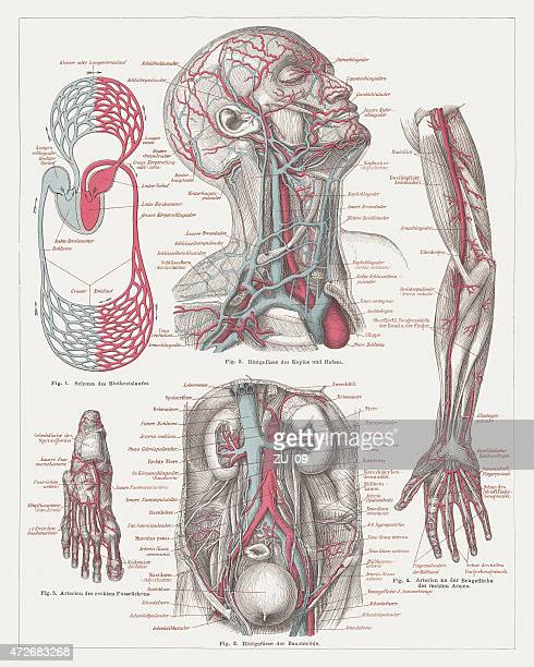 anatomy of the human bloodstream, lithograph, published in 1874 - coronary artery stock illustrations, clip art, cartoons, & icons