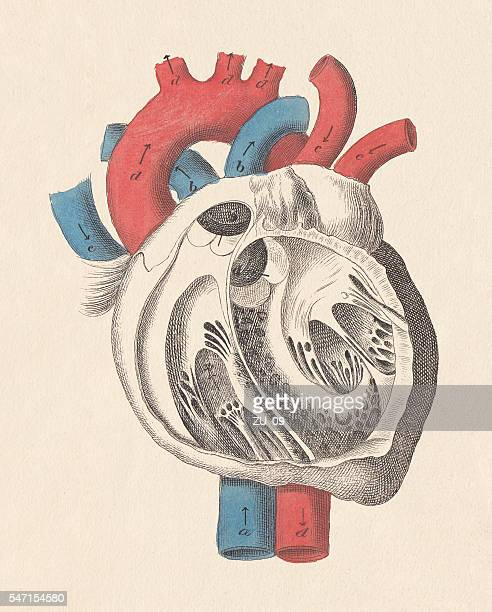 Interventricular Septum Stock Illustrations And Cartoons | Getty Images