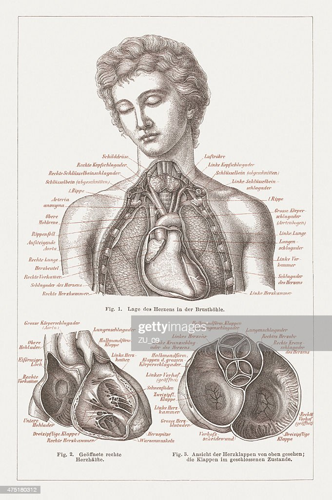 Anatomy Of The Human Heart Lithograph Published In 1876 Stock ...