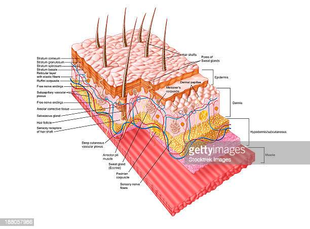 anatomy of the human skin. - tissue anatomy stock illustrations, clip art, cartoons, & icons