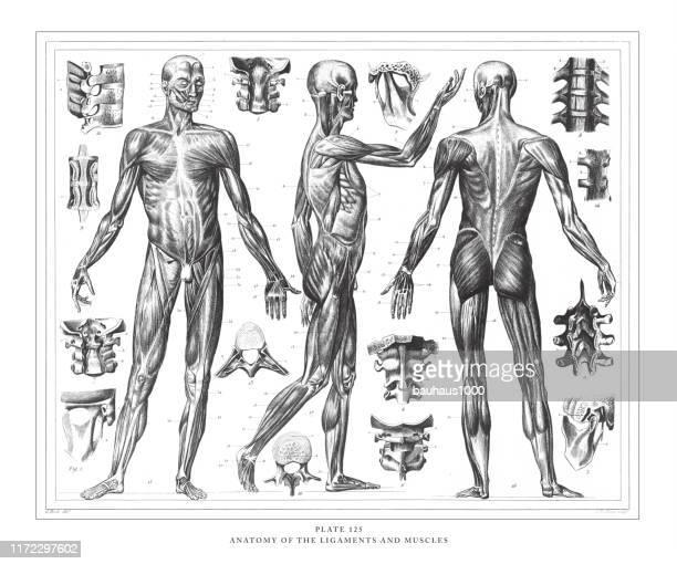 illustrations, cliparts, dessins animés et icônes de anatomie des ligaments et des muscles gravure antique illustration, publié 1851 - partie du corps humain
