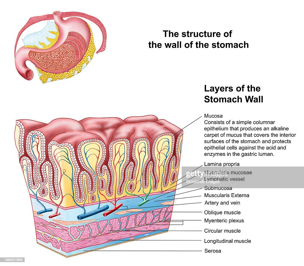 Anatomy Of The Structure And Layers Of The Stomach Wall Stock ...
