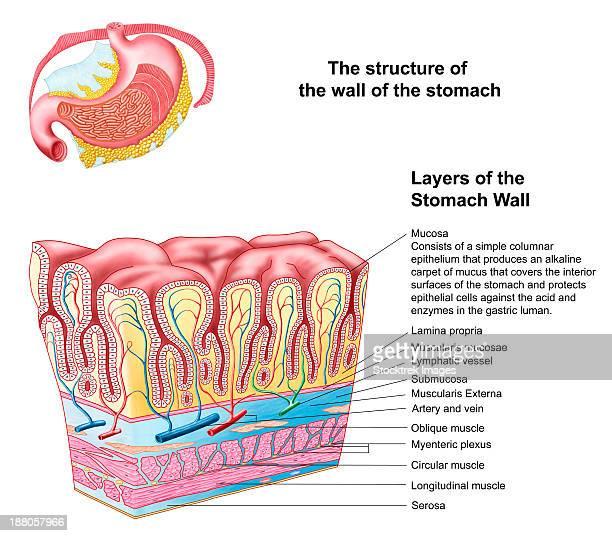 ilustraciones, imágenes clip art, dibujos animados e iconos de stock de anatomy of the structure and layers of the stomach wall. - lamina propria