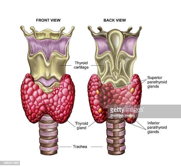 Parathyroid Gland Stock Illustrations And Cartoons Getty Images