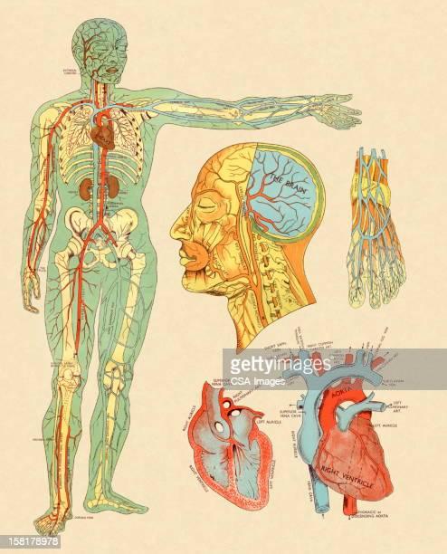 illustrations, cliparts, dessins animés et icônes de anatomie des veines et artères - partie du corps humain