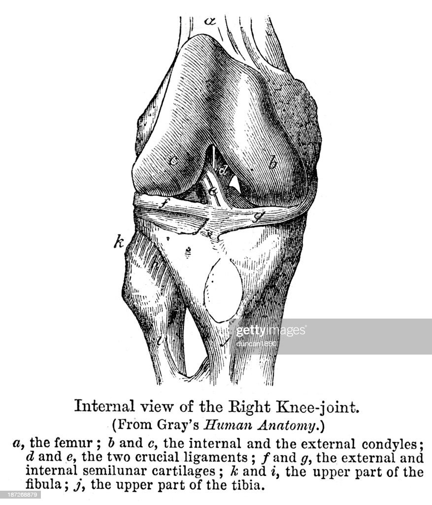 Anatomy Right Knee Joint Stock Illustration | Getty Images