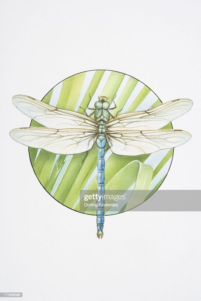 Anax imperator, Emperor Dragonfly. : stock illustration