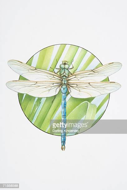 anax imperator, emperor dragonfly. - odonata stock illustrations, clip art, cartoons, & icons
