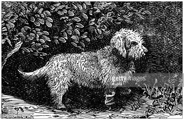 illustrations, cliparts, dessins animés et icônes de antique illustration: dandie dinmont terrier - dandie dinmont terrier