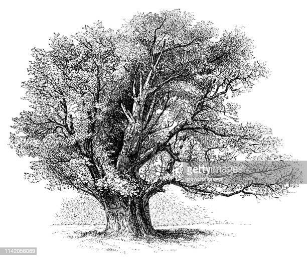 Ancient Oak Tree at Home Park in Windsor, England - 19th Century