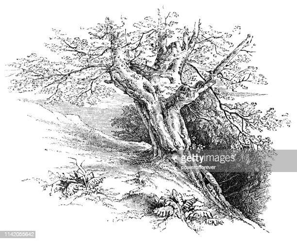 Ancient Oak Tree at Windsor Great Park - 19th Century
