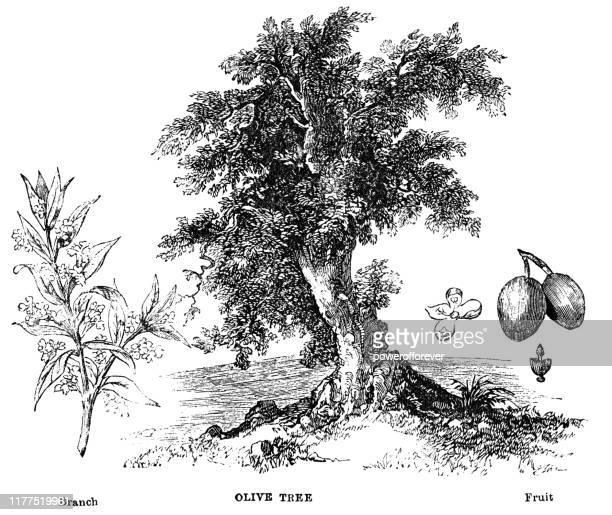 古代オリーブの木 - 19世紀 - オリーブの木点のイラスト素材/クリップアート素材/マンガ素材/アイコン素材