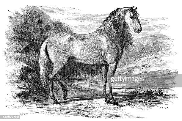 andalusian pure spanish horse engraving 1880 - horse stock illustrations