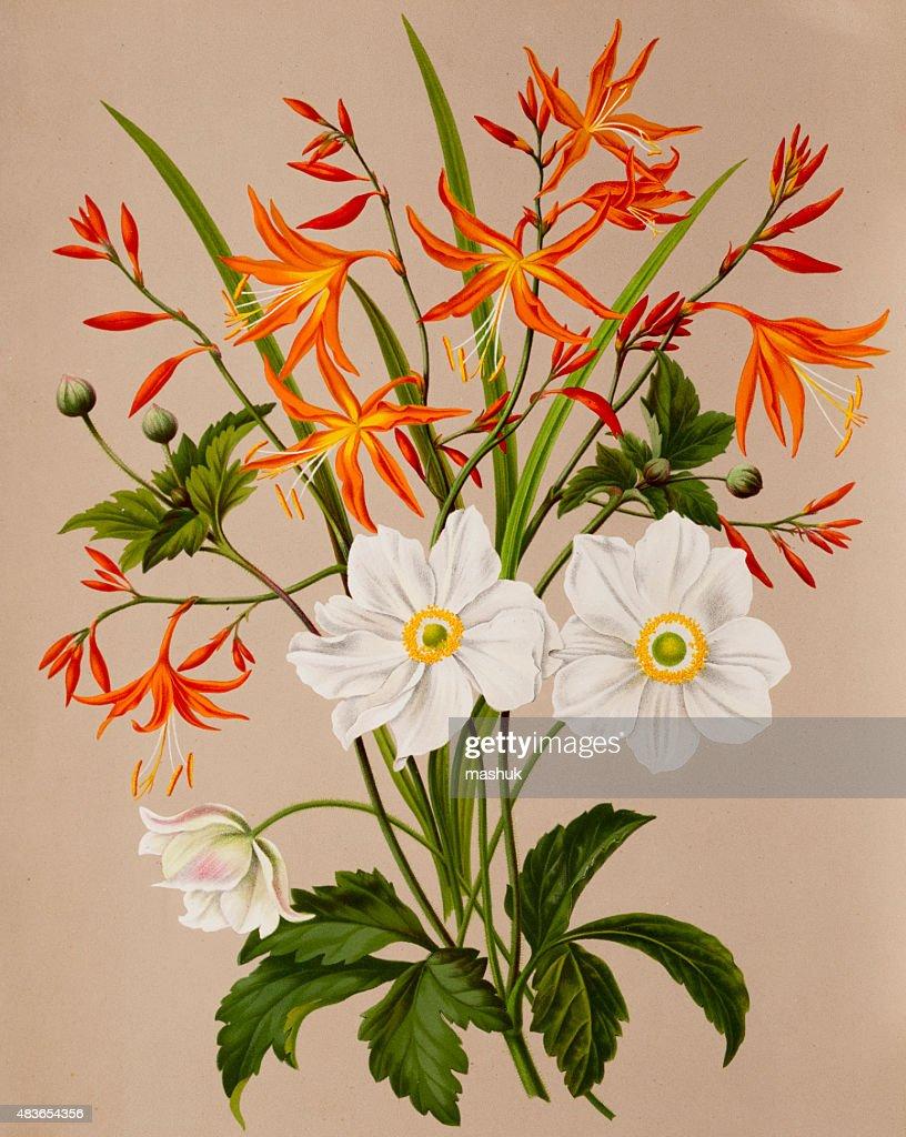Anemone and Valentine flowers, a 19th century botanical illustration : stock illustration