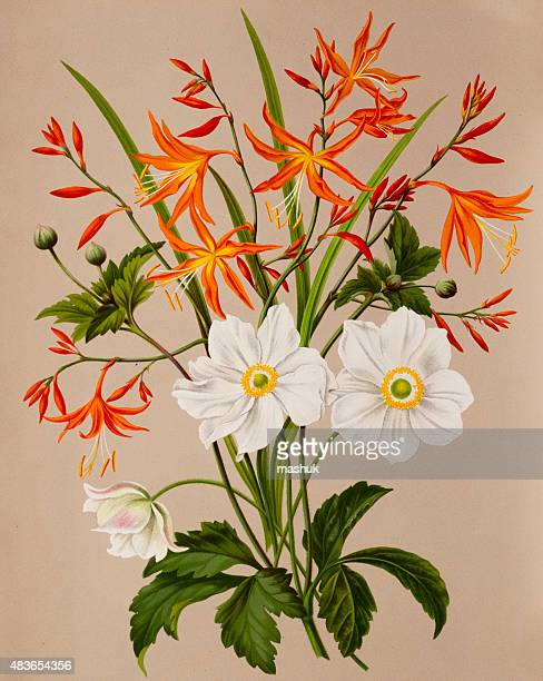 anemone and valentine flowers, a 19th century botanical illustration - ranunculus stock illustrations, clip art, cartoons, & icons
