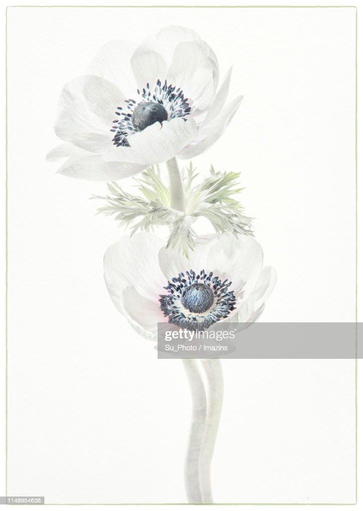 Anemone, High Key : stock illustration