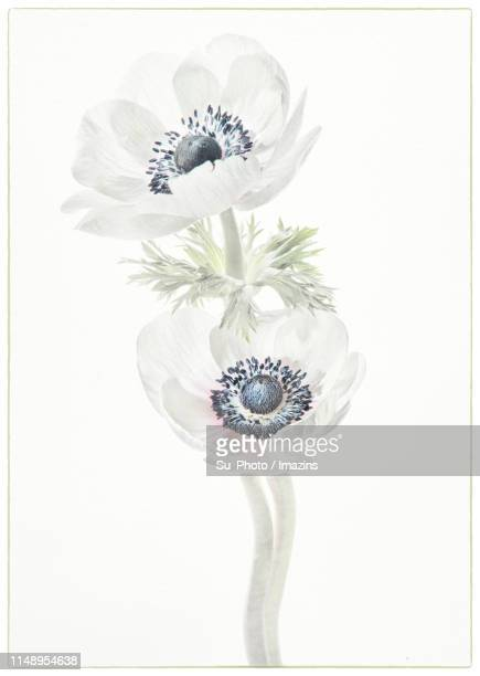 Anemone, High Key