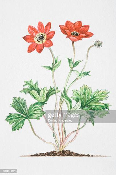 anemone pavonina, red flowers on slender stalks, with bracts further down stalk at a distance from flowers, and three lobed leaves. - ranunculus stock illustrations, clip art, cartoons, & icons