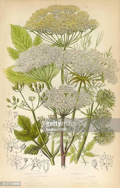 angelica, fennel, parsnip, victorian botanical illustration - parsnip stock illustrations, clip art, cartoons, & icons