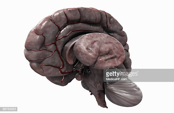 angled view of the brain with the left hemisphere removed. - diencephalon stock illustrations, clip art, cartoons, & icons
