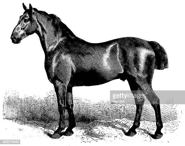 anglo-norman horse - normandy stock illustrations