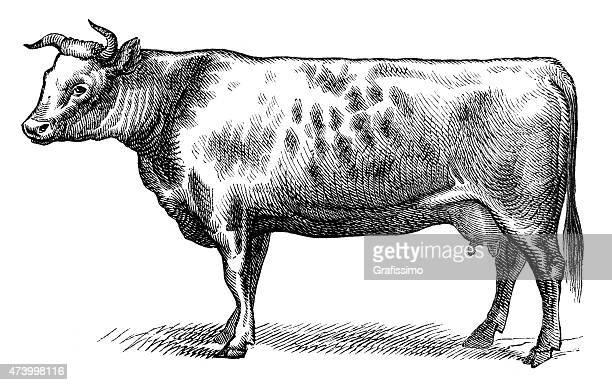 illustrations, cliparts, dessins animés et icônes de culture anglo-normandes de vache isolée sur blanc - vache
