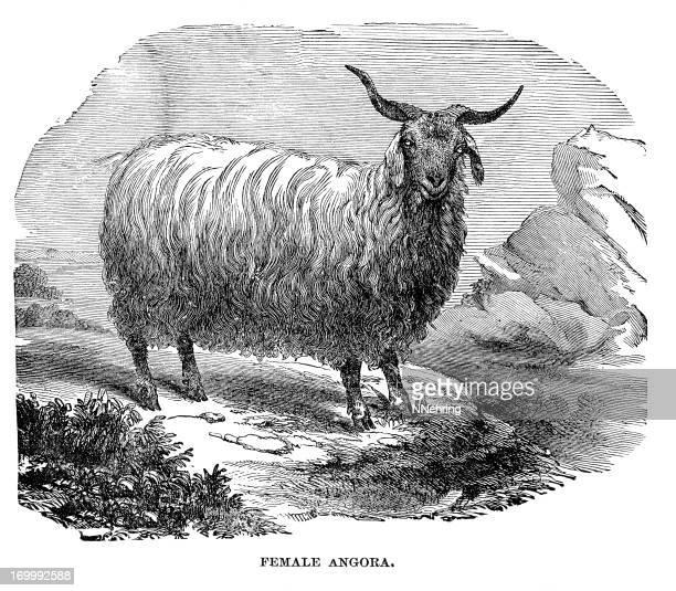 Vector Illustration - Angora goat-vector. Stock Clip Art gg74735030 -  GoGraph
