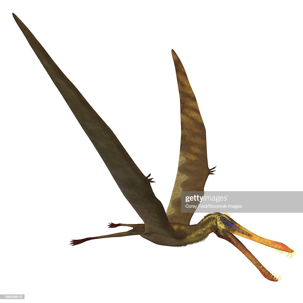 Anhanguera, a genus of Pterosaur from the Cretaceous period. : stock illustration