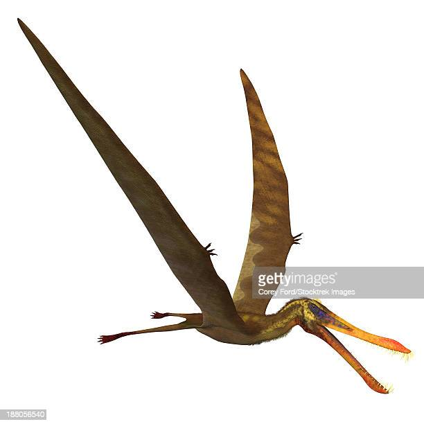 Anhanguera, a genus of Pterosaur from the Cretaceous period.