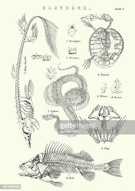 animal backbones 19th century - animal skeleton stock illustrations, clip art, cartoons, & icons
