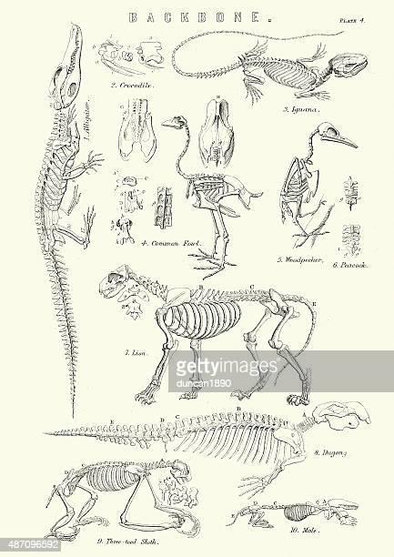 Animal Backbones 19th Century